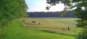 Friedlich grasende Pferde am Morgen. Immer wieder schön zu beobachten.